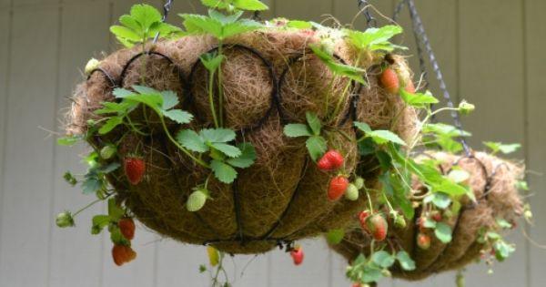 Выращивание клубники в подвесных емкостях