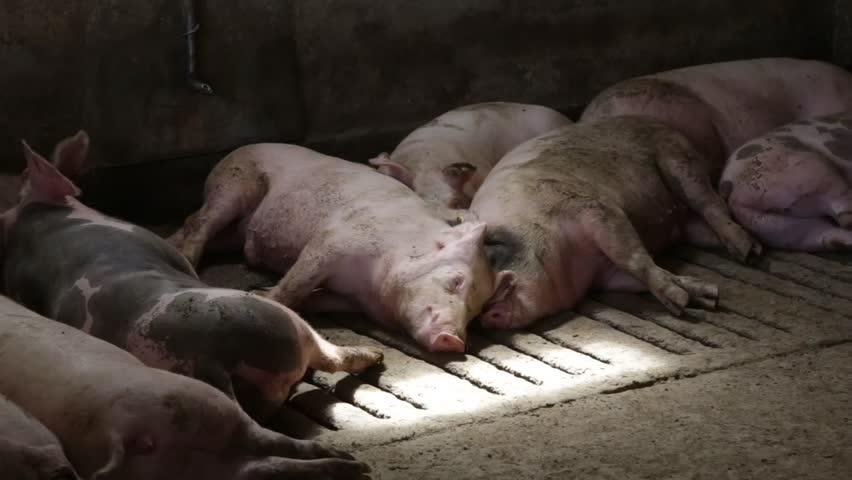 Свиньи в сарае.