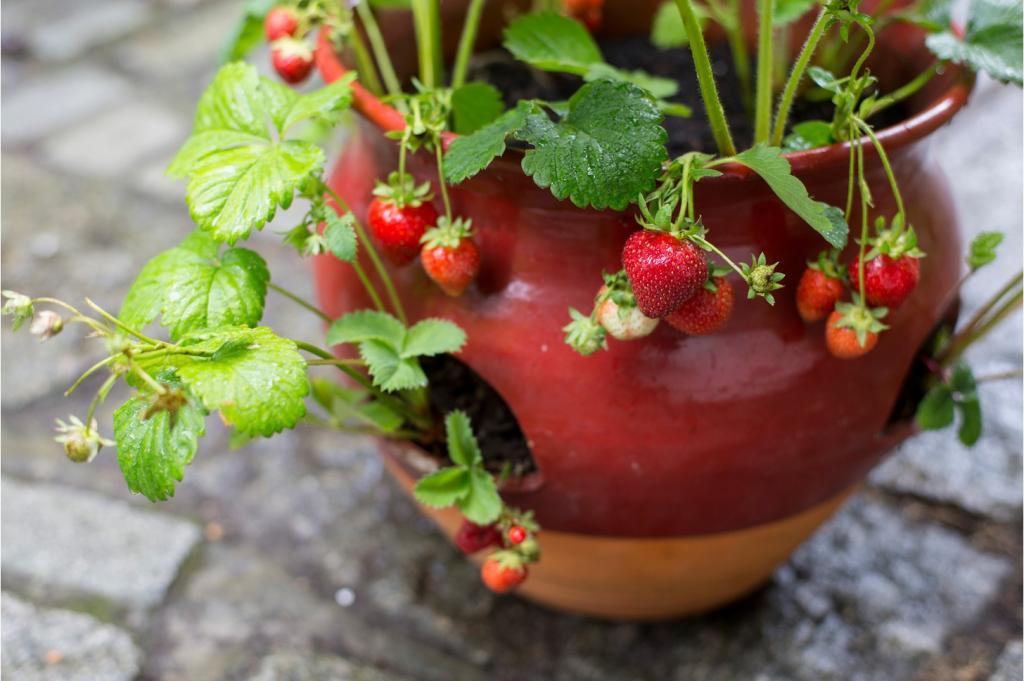 Выращивание клубники в горшке