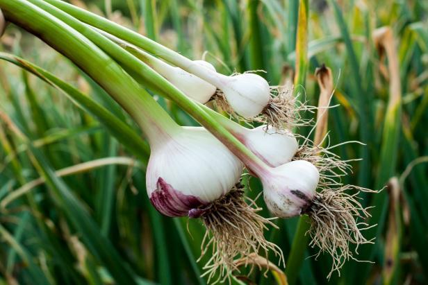 выращивание чеснока как бизнес рентабельность