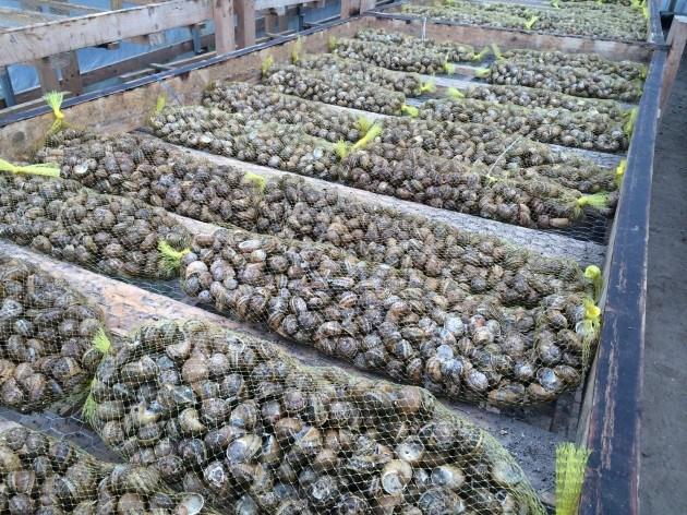 как разводить виноградных улиток