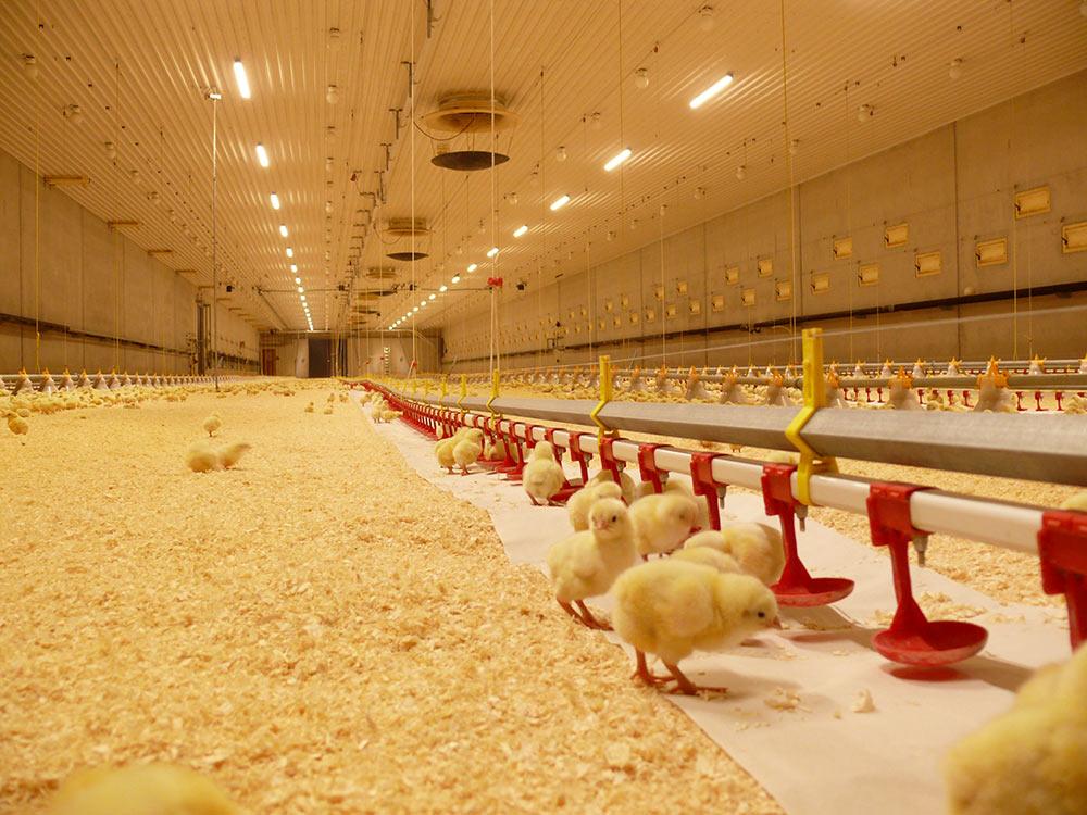 Климат и освещение для содержания кур