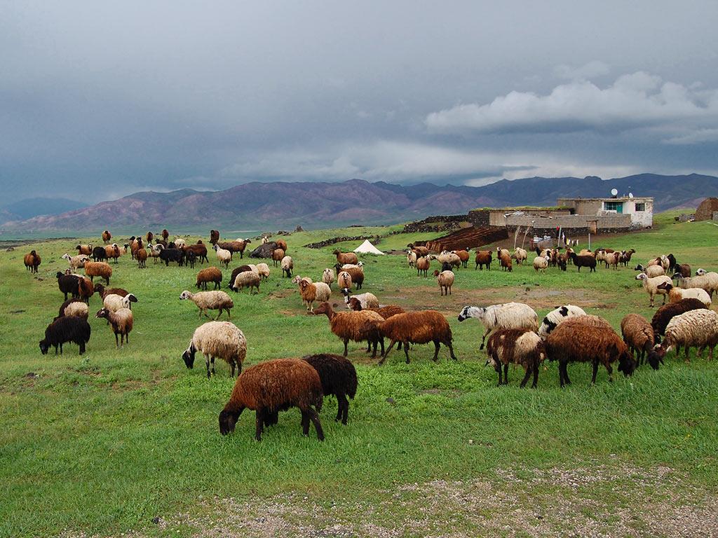 выращивание овец современным способом