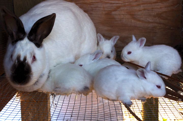 выращивание кроликов на мясо как бизнес